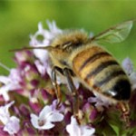 Killer disease striking down US honey bees