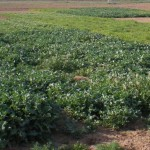 Cover crops can reduce nitrogen loss