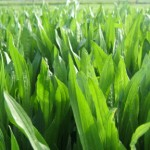 Plantain ideal for lamb finishing