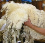 Wool price lifts on back of weaker NZ$