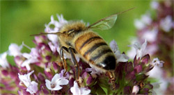 Pesticides not to blame for bee decline