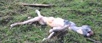 slipped calf200
