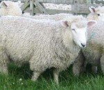 Clover management key to lamb growth